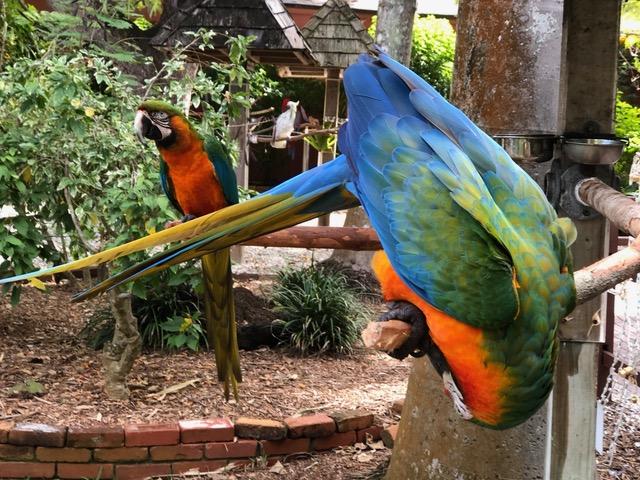 Parrots at the Sarasota Jungle Garden