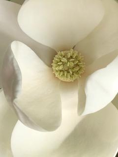 Magnolia Mick Hales